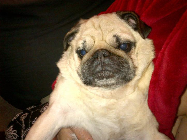 Doug the Pug Sitting in my Arms