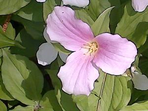 Single pink Trillium