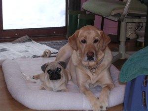 Pug and yellow lab lying down together